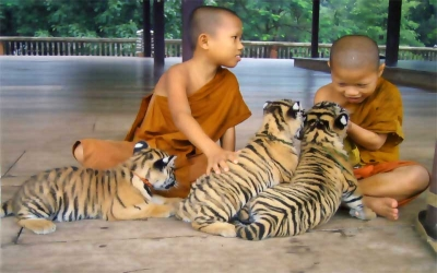 Novice monks training tiger cubs