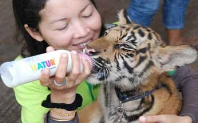 Tiger temple Feeding Tiger Cubs