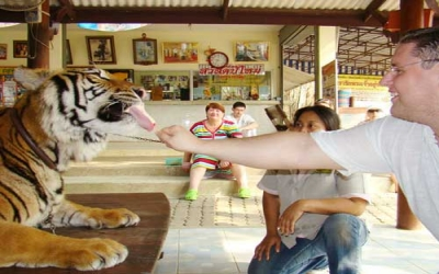 Feeding tiger chicken