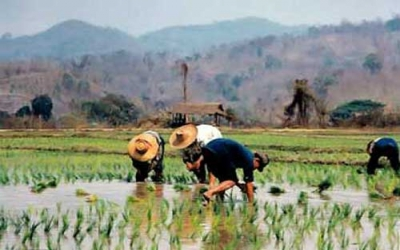 Paddy field rice planting