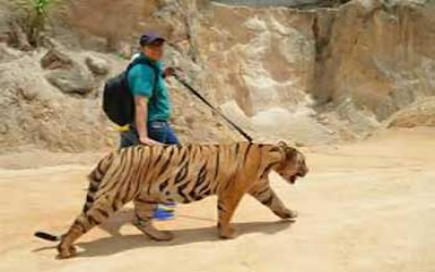 Walk with tiger